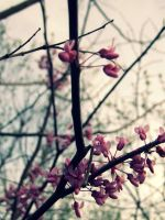 Red bud blooms by SilverWolf7444