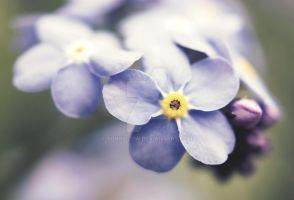 Forget Me Not by Sunhillow