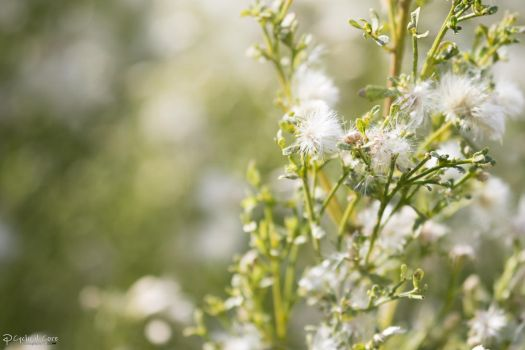 White flowers by CyclicalCore