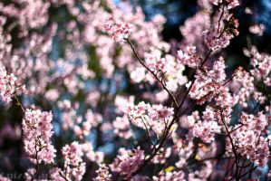 Sakura Bokeh by MoonchildLuiza