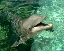 Smiling Dolphin by dolphinandcow