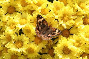 Bright Spot - Common Buckeye 1 by WalnutHill