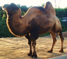 SD Zoo - Camel 2 hump deflated by sychoblustock