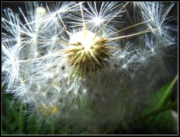 Dandelion up close by AgiVega