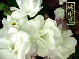 White Roses III by emmil