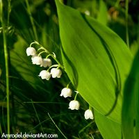 Lily of the Valley by amrodel