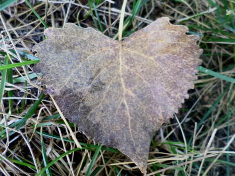 Heart Shaped Cottonwood Leaf 4 by Cynnamyn
