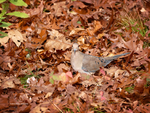 Mourning Dove in Oak Leaves by Mogrianne