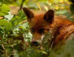 Red Fox by shaunthorpe