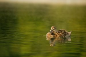 Young Mallard September - 2014 - 6 - 2 by toshema