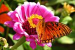 Gulf Fritillary by PhotoDavid1957