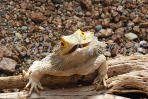 Bearded Dragon by InsertEpicName-here