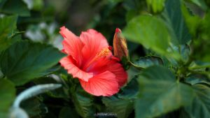 Red Flower and Green Leaves by joerayphoto