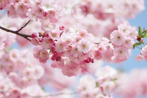 cherry blossom II by sandi-screams