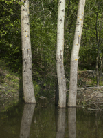 three trees in water by oosstock