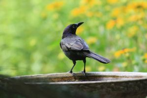 Photogenic Grackle by ringette-and-riding
