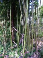 Bamboo 6 by AlissaDStock