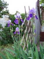 Irises by CKNelson