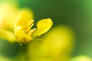Yellow by dhead