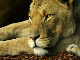 Sleeping Lions by Emasone