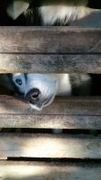 Let me out said Beyonka the Husky by MagicArt1