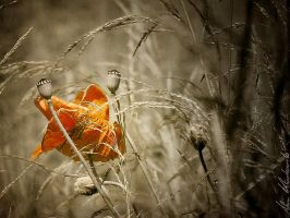 Poppy II by Edek
