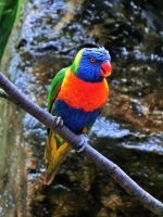 Rainbow lorikeet by WhirlingBlue