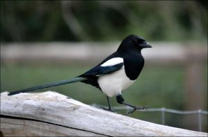 Magpie by FrankAndCarySTOCK