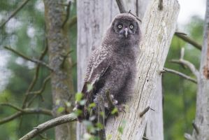 Owl Youngling by JRL5