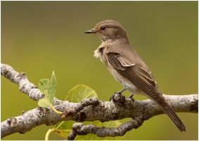 spotted flycatcher by nakitez