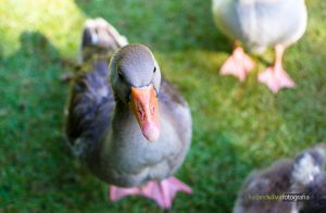 Quack! by lucianoW
