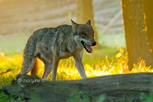 Wolf II by moem-photography