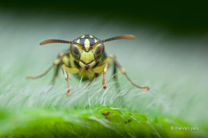 Yellow wasp by melvynyeo