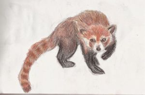 Scanned: Red Panda Study by Astrikos