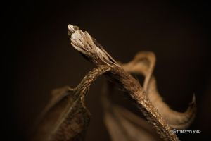Stick mimicking Moth by melvynyeo