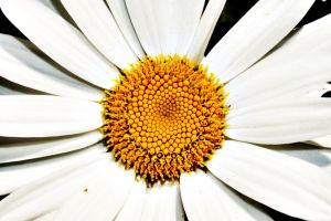 camomile by sonia91