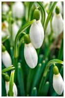 The Snowdrops are Coming... by amcg87