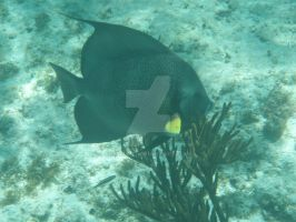 TME Akumal, Mexico: Grey Angelfish by Namyr