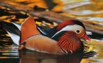 Mandarin duck by missfortune11