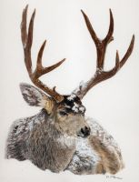Mule Deer in Snow by mclanesmemories