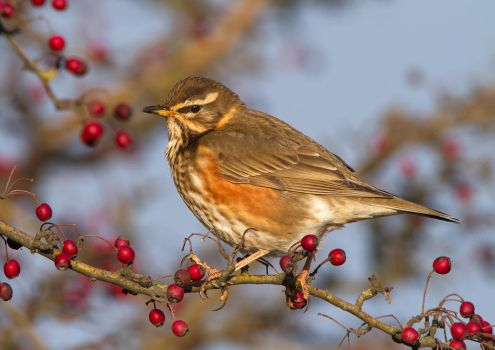 Thinking - Redwing by Jamie-MacArthur