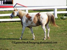 Paint Horse 4 by EquineStockImagery