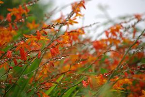 after rain crocosmia by cheah77