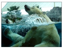 Polar Bear 05 by h-o-l-z