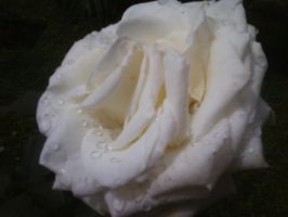 White Rose by sky-photographer
