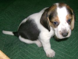 Beagle Puppy - II by DemberPhotos