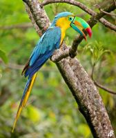 Blue-and-yellow toucaw by Dwarf4r