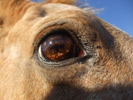 Horse Eye CloseUp by Cerestes-Stock
