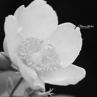 Flower In Black and White by t-R-i-S-h