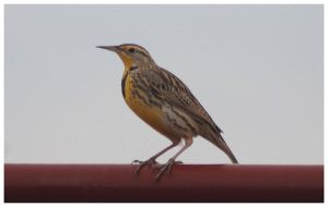 MeadowLark on a Rail by SuicideBySafetyPin